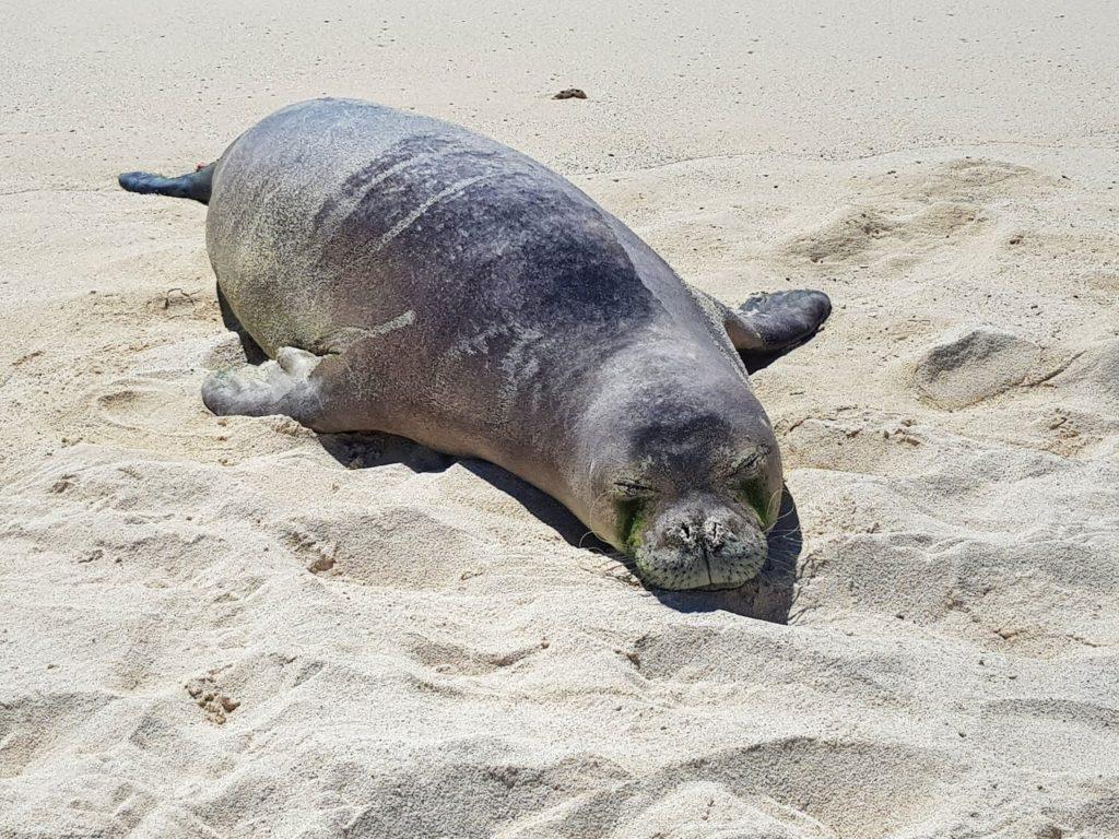 Insel, Oahu, Hawaii, Beach, Kailua, Mokulua Island, Monk Seal